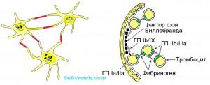 Схема адгезии и агрегации тромбоцитов